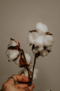 Baumwoll-Pflanze vor hellem Hintergrund